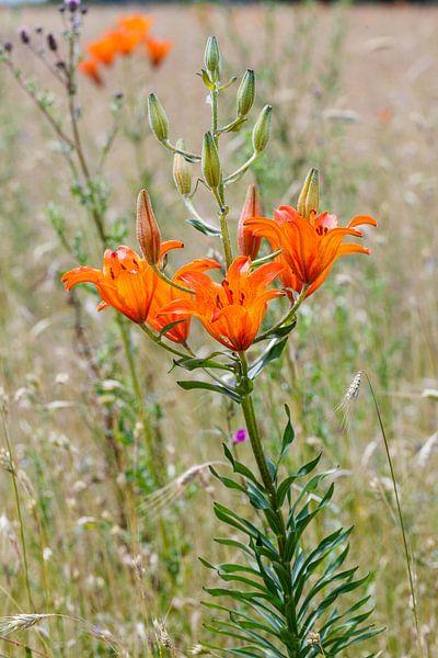 Oranje roggelelie in akker in Noord Duitsland bij Govelin van Martin Stevens