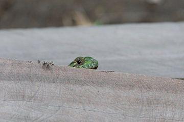 Groene hagedis op blok hout van Maurits Kuiper