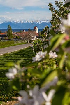 Apfelblüte bei Kippenhausen am Bodensee van