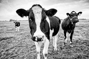 Nieuwsgierige poserende kudde koeien