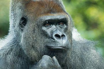 Gorilla van Ulrich Brodde