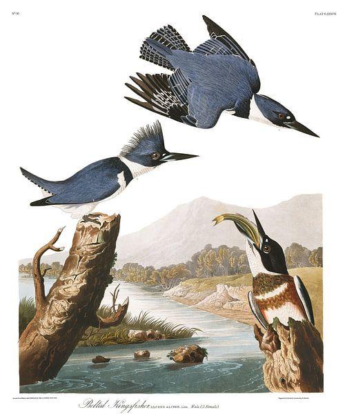 Bandijsvogel van Birds of America
