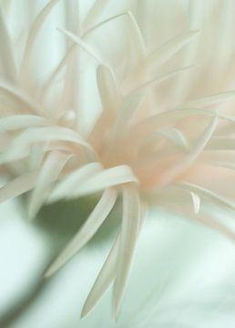 Licht roze Spider Gerbera von Minie Drost