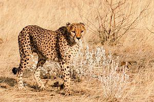 Cheetah van