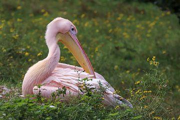 Roze Pelikaan van Anjella Buckens