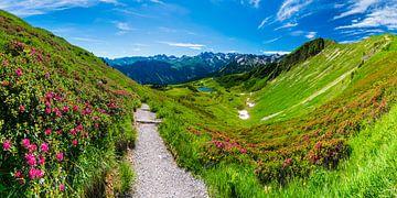 Alpenroos bloesem, Fellhorn, Allgäuer Alpen