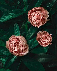 Roze pioenroos, peony, op groen blad van Joske Kempink