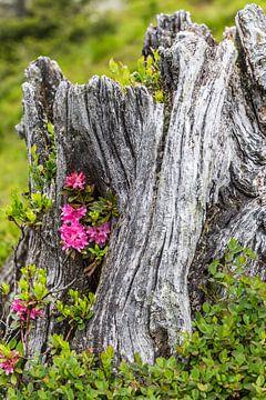 Alpenrose & Baumstumpf sur Coen Weesjes
