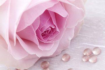 Zacht roze roos met druppels van