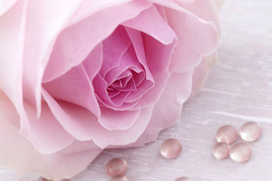 Zacht roze roos met druppels