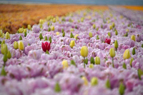 Tulpen, tulpen en nog meer tulpen