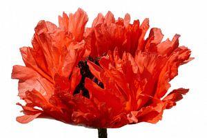Poppy One