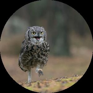 so funny... Great Horned Owl / Tiger Owl * Bubo virginianus * van wunderbare Erde