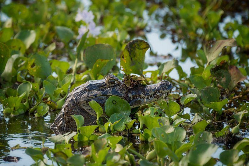 Krokodil in Pantanal, Brazilie van Leon Doorn