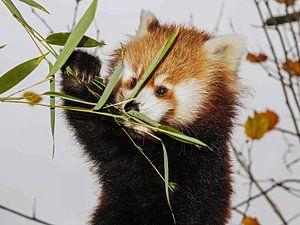 Junger roter Panda