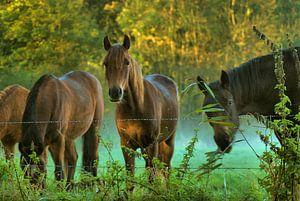Paarden in de mist van Zeeuwse fotograaf