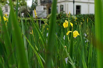 Yellow Iris - 2017 von Timmy Bouwmann