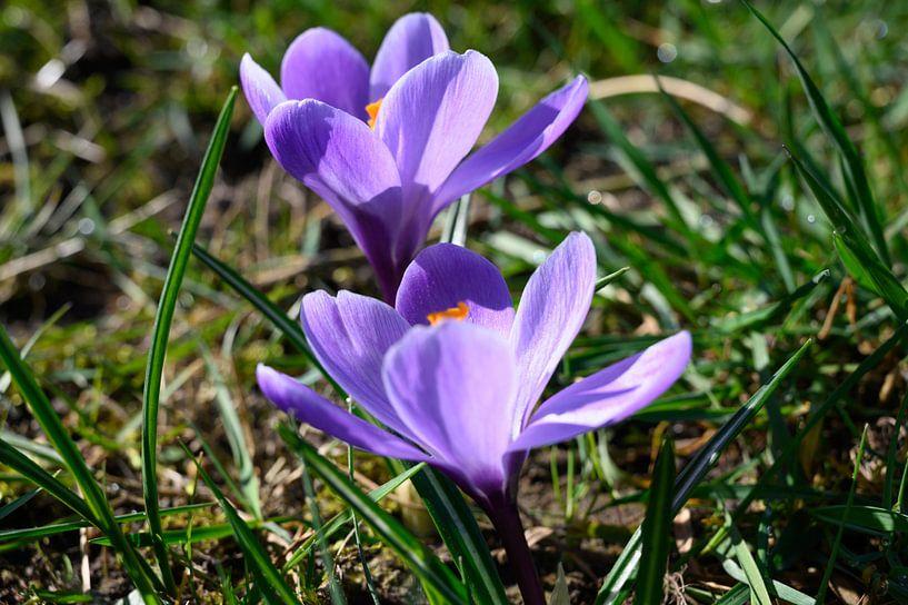 Voorjaarsbloeier in de zon van michel Knikker