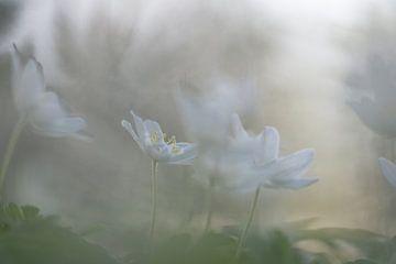 Bosanemonen in het vroege lentelicht sur eusphotography