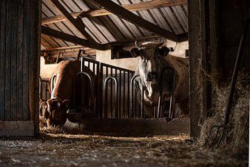 Koeien in een oude koeienstal van Danai Kox Kanters