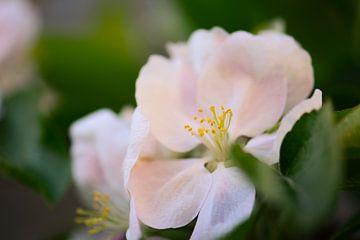 fleur de pommier sur Tania Perneel