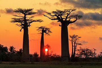 Apenbroodbomen zonsondergang  van Dennis van de Water