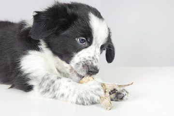 De border collie pup eet gedroogde vis. van Rene du Chatenier
