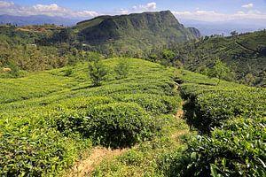 Theevelden in de binnenlanden van Sri Lanka