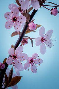Close up roze bloesemtak tegen een blauwe achtergrond