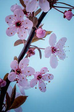Close up roze bloesemtak tegen een blauwe achtergrond van