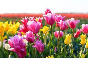 Kleurrijke tulpen in een veld tijdens zonsondergang