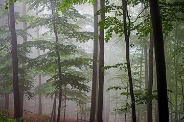 mist in een beukenbos van