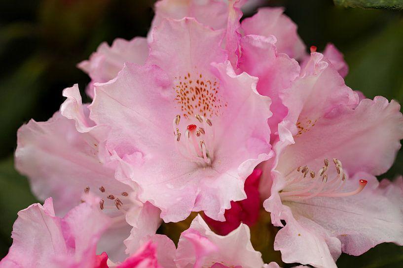 Rhododendronbloesem van Erich Werner