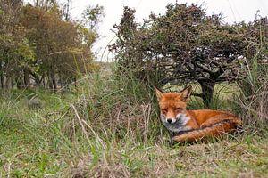 Fox under a tree von Eelke Cooiman
