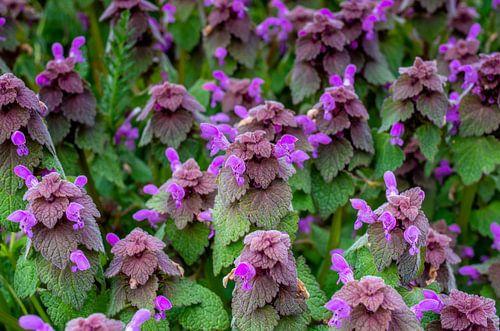 Blumenwiese im Frühling mit purpurotenTaubnesseln