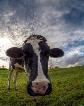 Cow sur Carina Buchspies