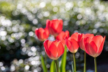 Rode tulpen met bokeh van druppels op groene bladeren van Tonko Oosterink