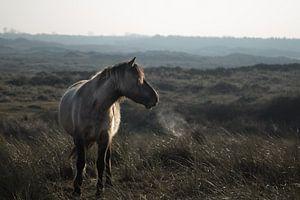 Wild paard @ Huisduinen