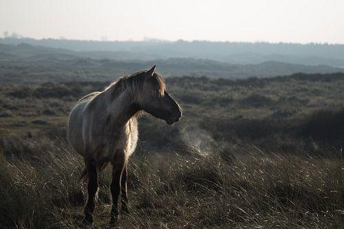 Wild paard @ Huisduinen van