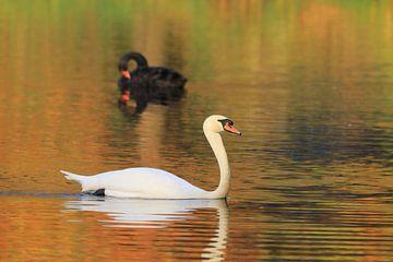 Zwarte en witte zwaan van Bobsphotography