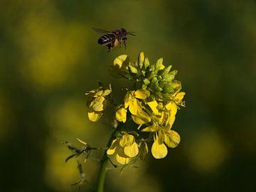 Biene im Anflug auf eine gelbe Rapsblüte im Herbst von Timon Schneider