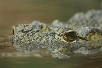 Krokodil von FotoGraaG Hanneke