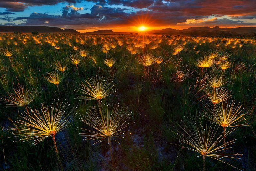 Paepalanthus Wildflower van Marcio Cabral