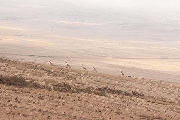 Giraf kudde die de heuvels van Ngorongoro op wandelen van Mickéle Godderis