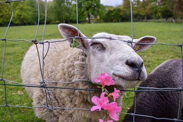 Schaap met bloem von Chayenne Batenburg-Boom