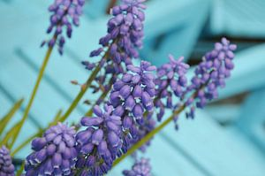 Blauwe druifjes van
