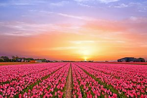 Tulpen velden op het platteland in Nederland bij zonsondergang van