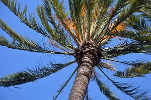 Kroon van een palmboom tegen een strakblauwe hemel in park Palmeral in Elche, Spanje.