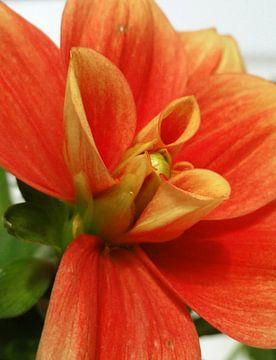 Oranje bloemkelk van Lotte Veldt