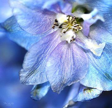 Close-up van een blauwe Ridderspoor (Delphinium 'Blue bird' )